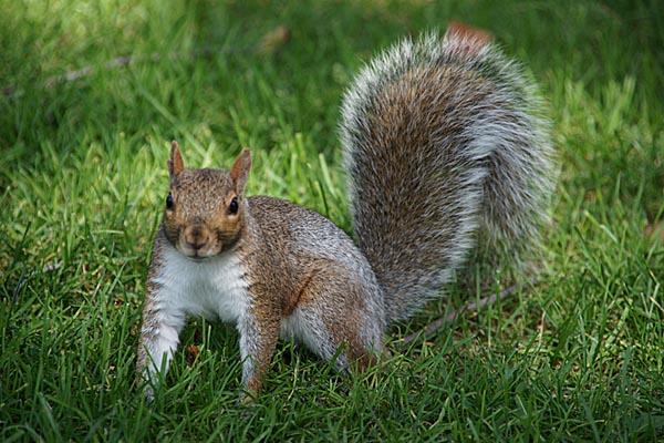 external image Grey-Squirrel.jpg