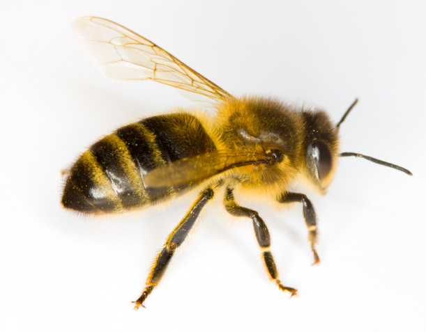 Image result for bees or wasps